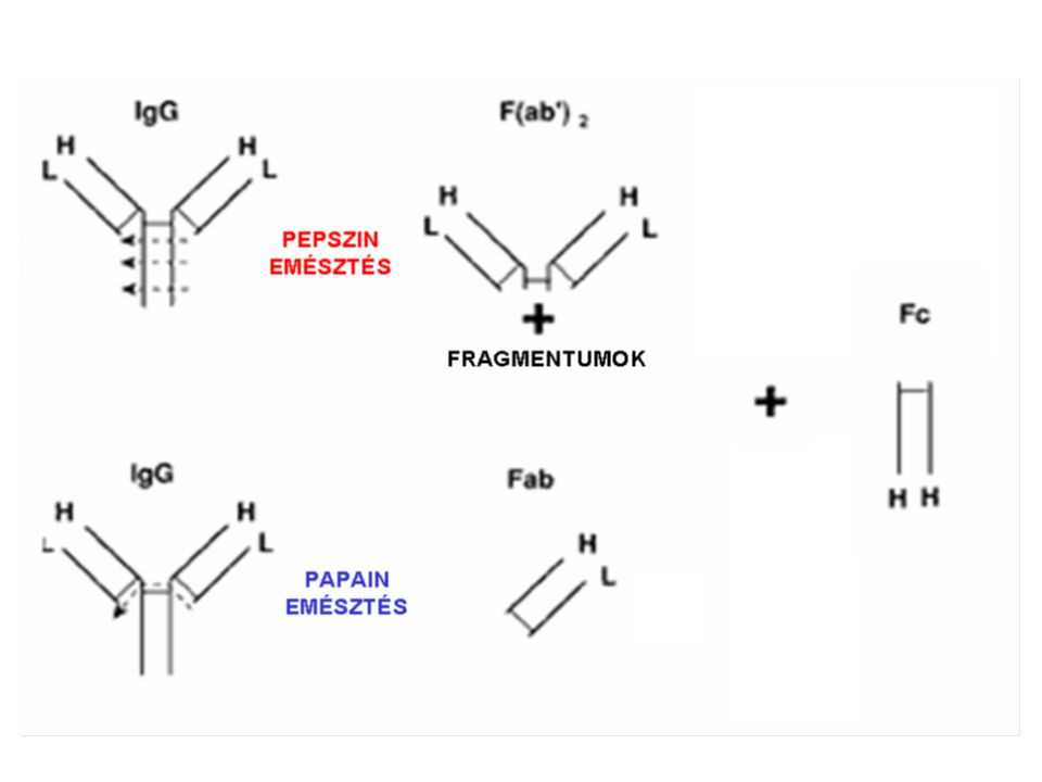 Papain is a cysteine protease (EC 3. 4. 22