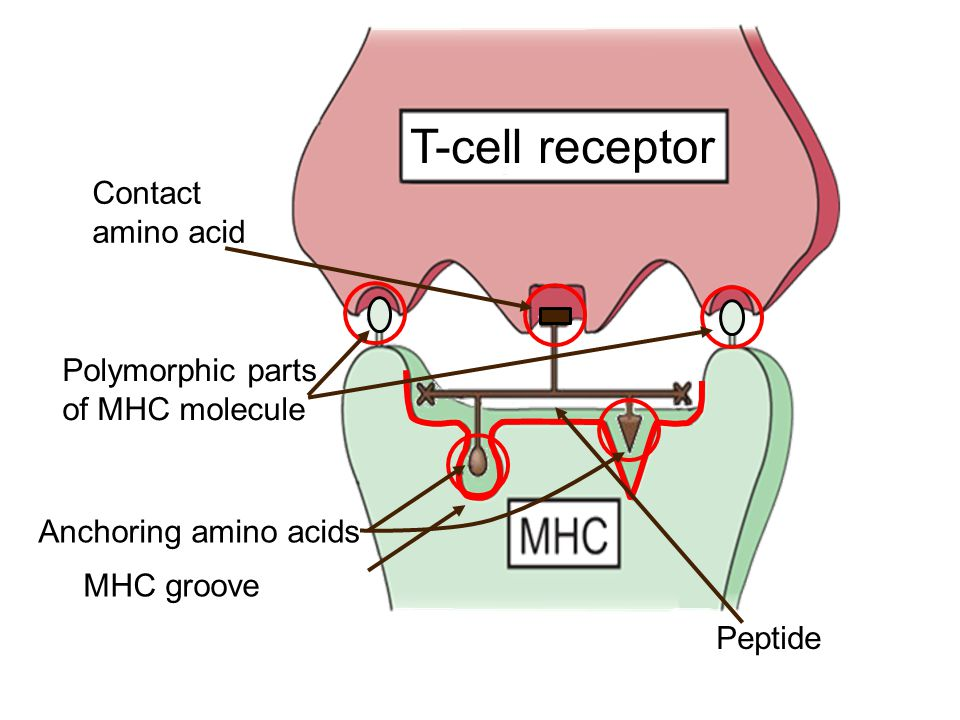 T-cell receptor Contact amino acid Polymorphic parts of MHC molecule