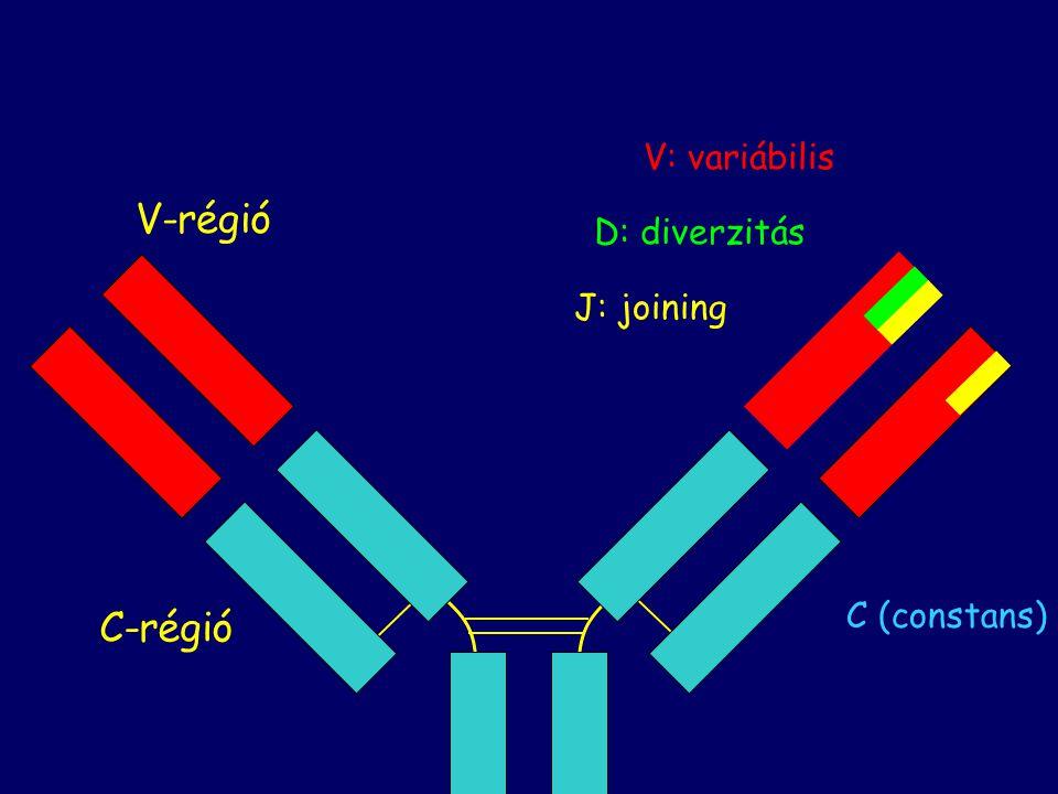 V: variábilis V-régió D: diverzitás J: joining C (constans) C-régió