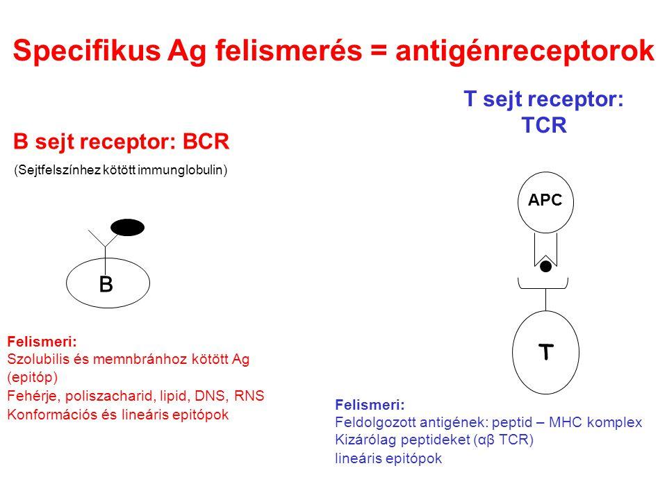 Specifikus Ag felismerés = antigénreceptorok
