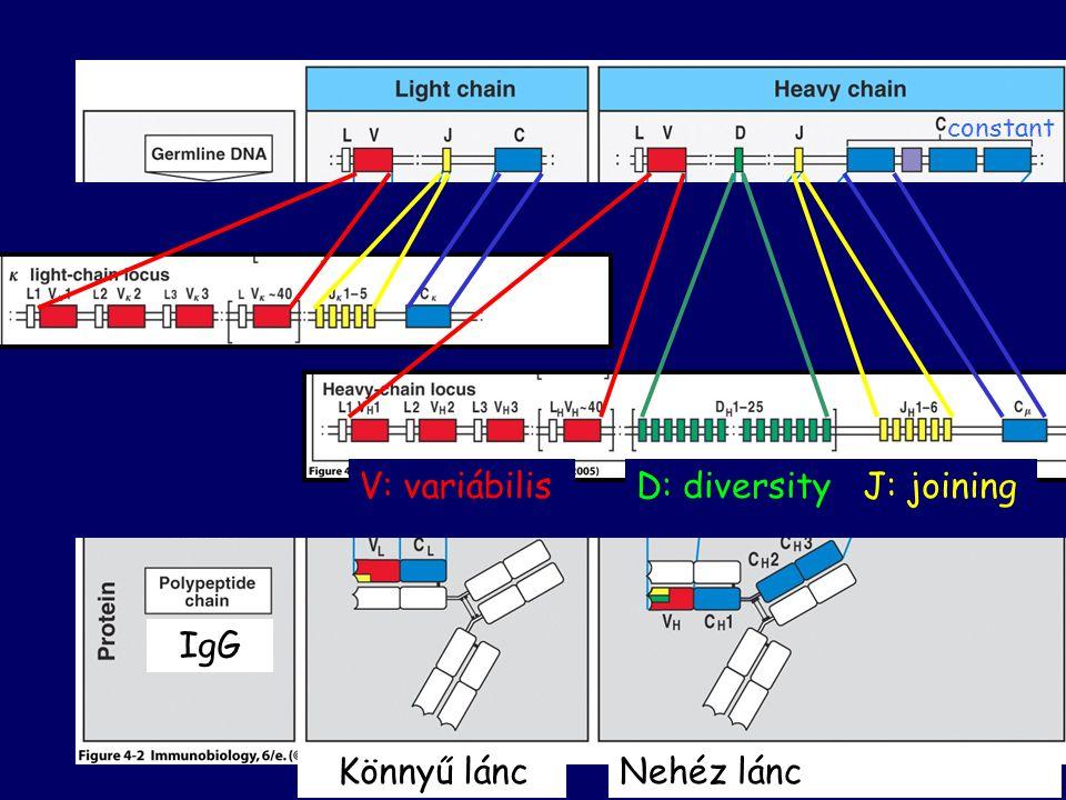 V: variábilis D: diversity J: joining IgG Könnyű lánc Nehéz lánc