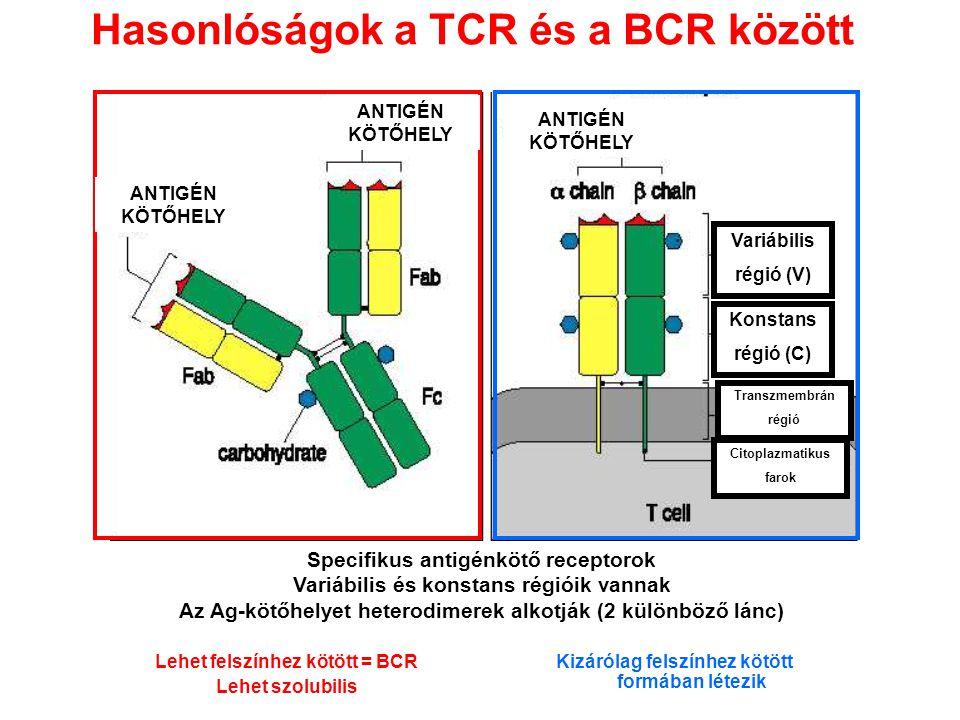 Hasonlóságok a TCR és a BCR között