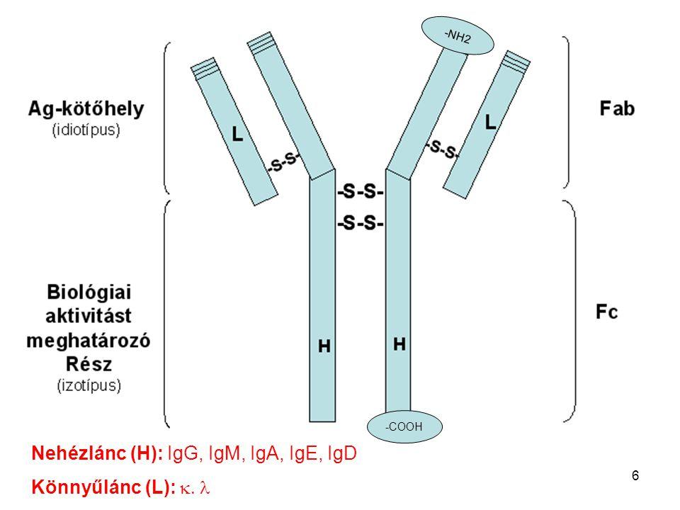 Nehézlánc (H): IgG, IgM, IgA, IgE, IgD Könnyűlánc (L): k. l