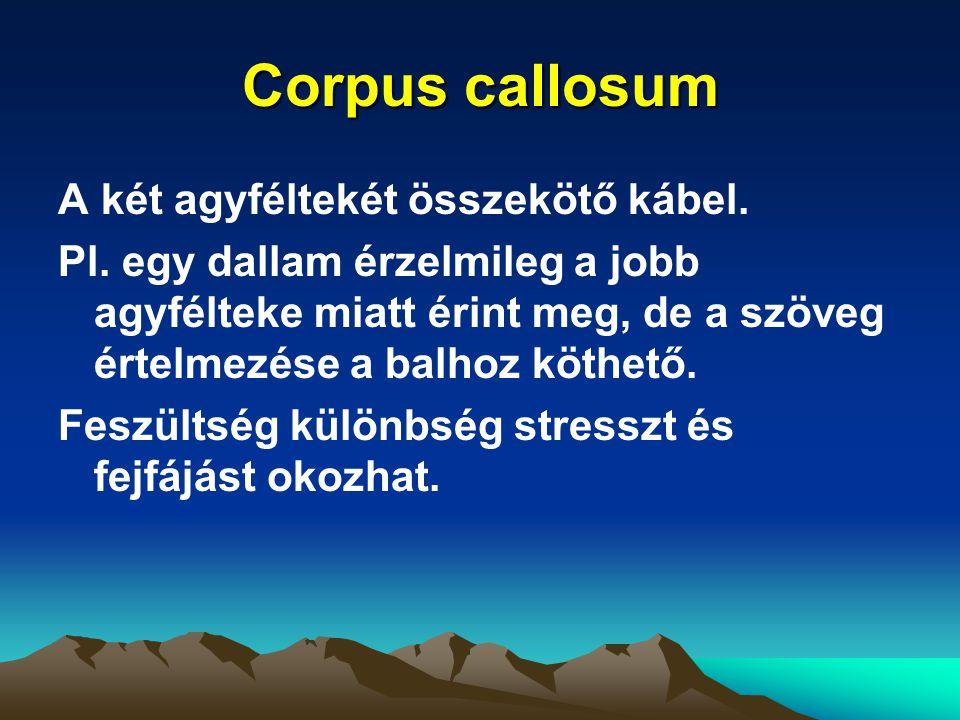 Corpus callosum A két agyféltekét összekötő kábel.