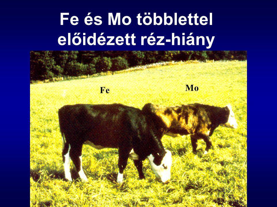 Fe és Mo többlettel előidézett réz-hiány