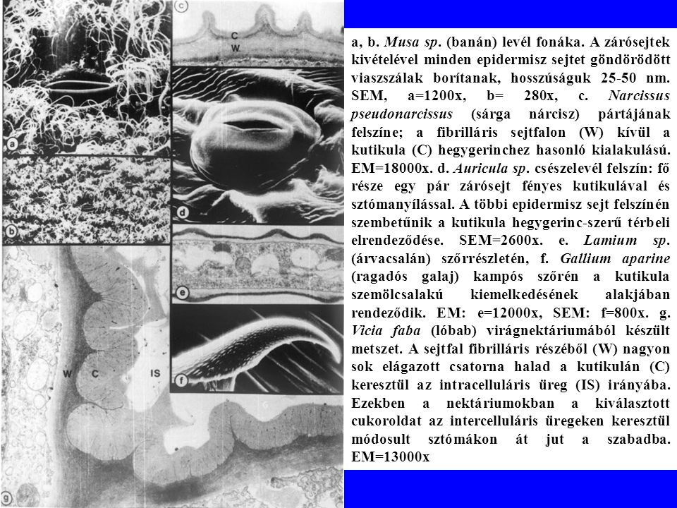 a, b. Musa sp. (banán) levél fonáka