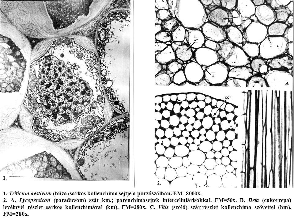 1. 2. 1. Triticum aestivum (búza) sarkos kollenchima sejtje a porzószálban. EM=8000x.