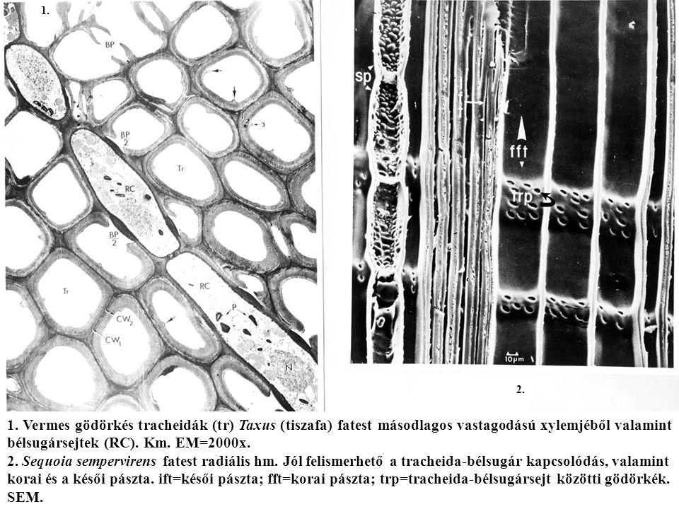 1. 2. 1. Vermes gödörkés tracheidák (tr) Taxus (tiszafa) fatest másodlagos vastagodású xylemjéből valamint bélsugársejtek (RC). Km. EM=2000x.