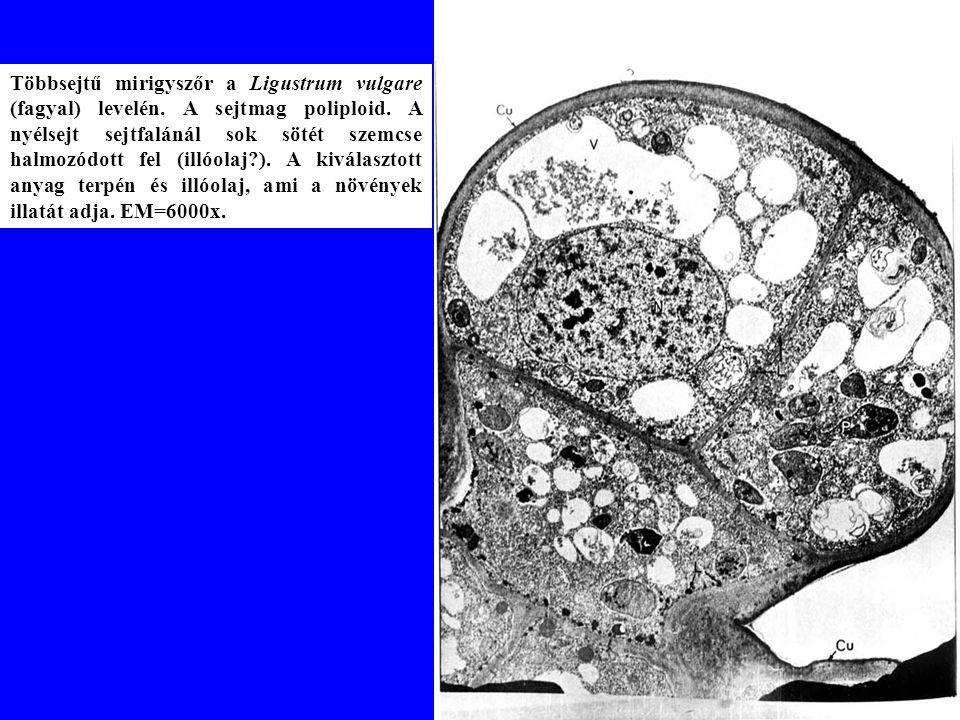 Többsejtű mirigyszőr a Ligustrum vulgare (fagyal) levelén