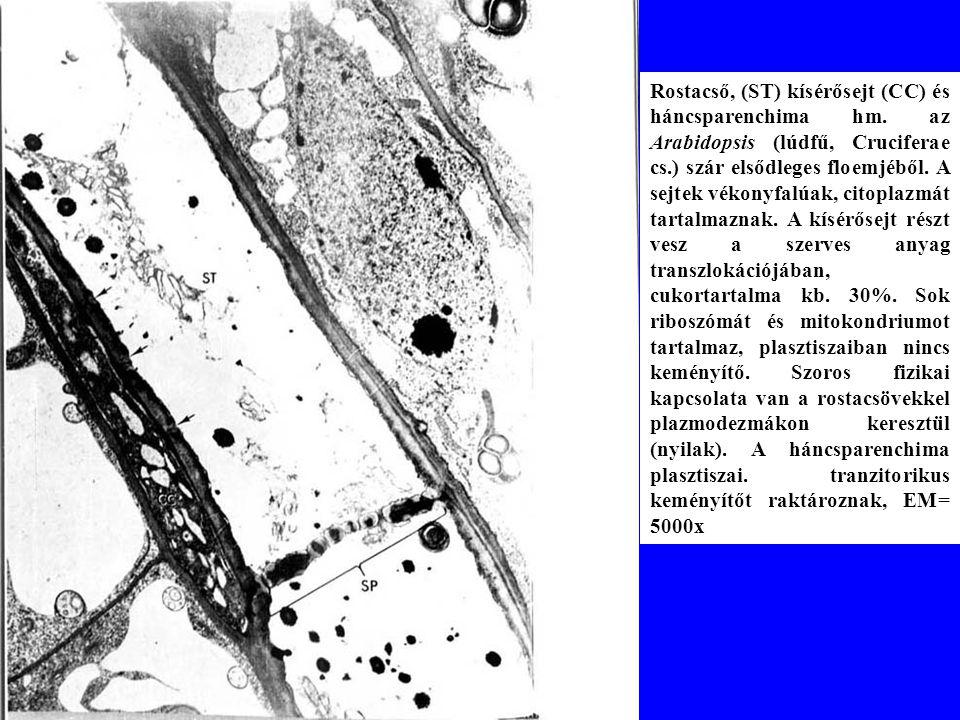 Rostacső, (ST) kísérősejt (CC) és háncsparenchima hm