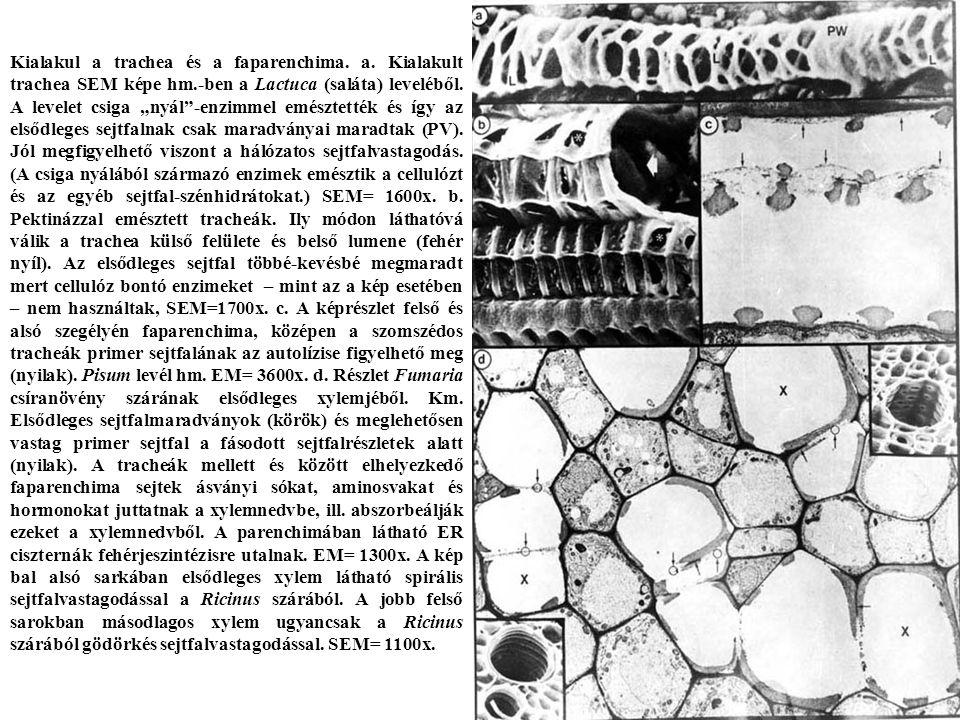 Kialakul a trachea és a faparenchima. a. Kialakult trachea SEM képe hm