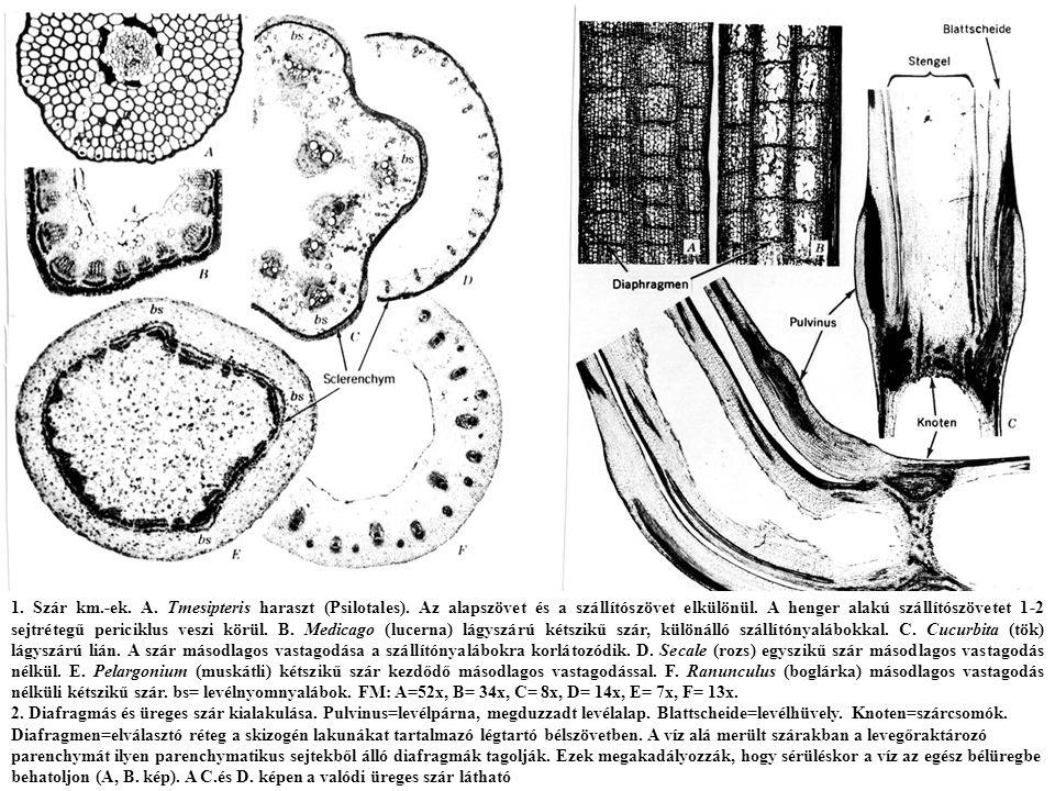 1. Szár km. -ek. A. Tmesipteris haraszt (Psilotales)