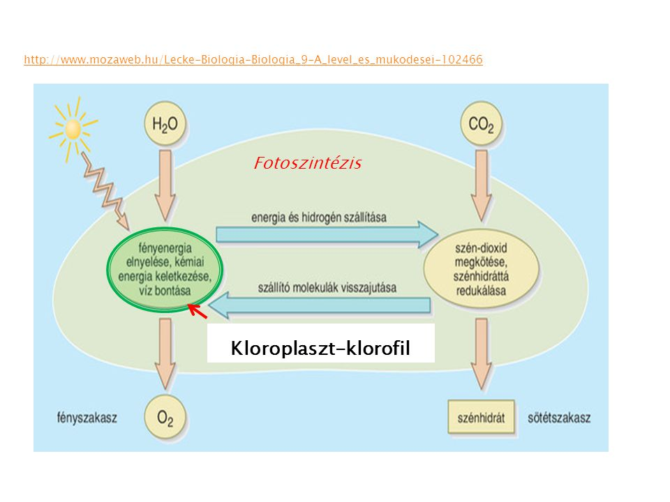 Kloroplaszt-klorofil