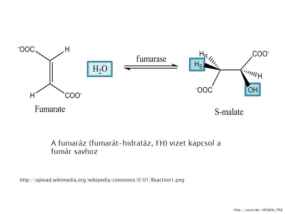 A fumaráz (fumarát-hidratáz, FH) vizet kapcsol a fumár savhoz