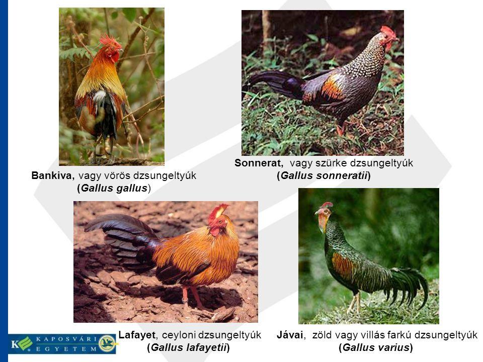 (Gallus sonneratii) (Gallus lafayetii) (Gallus varius)