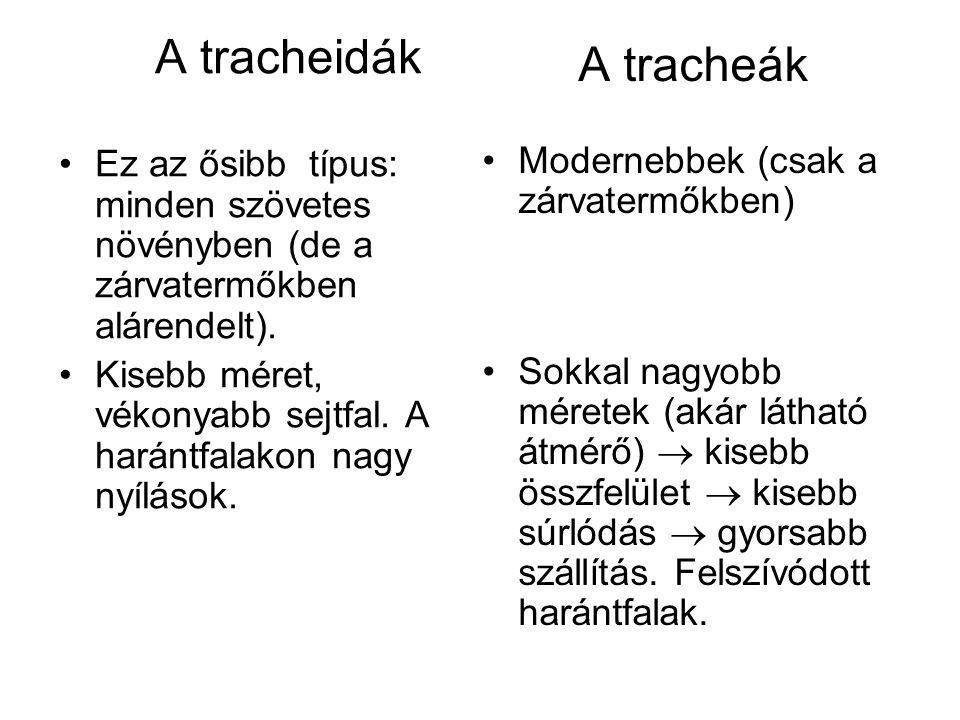 A tracheidák Ez az ősibb típus: minden szövetes növényben (de a zárvatermőkben alárendelt).