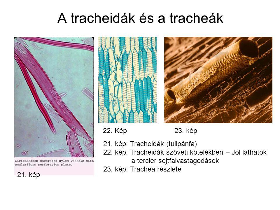 A tracheidák és a tracheák