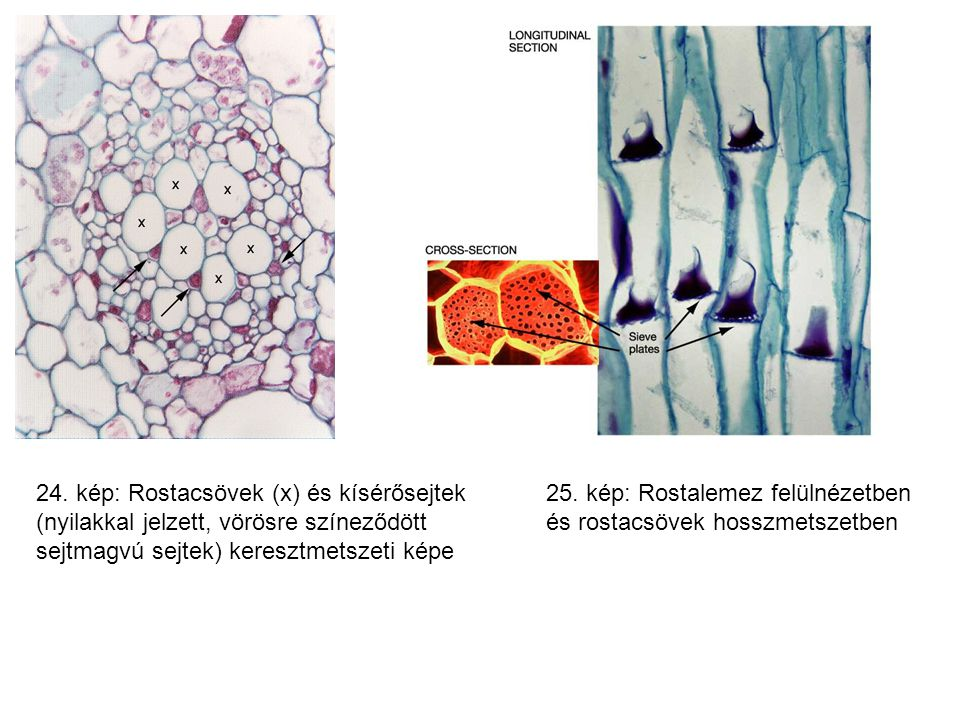 24. kép: Rostacsövek (x) és kísérősejtek (nyilakkal jelzett, vörösre színeződött sejtmagvú sejtek) keresztmetszeti képe