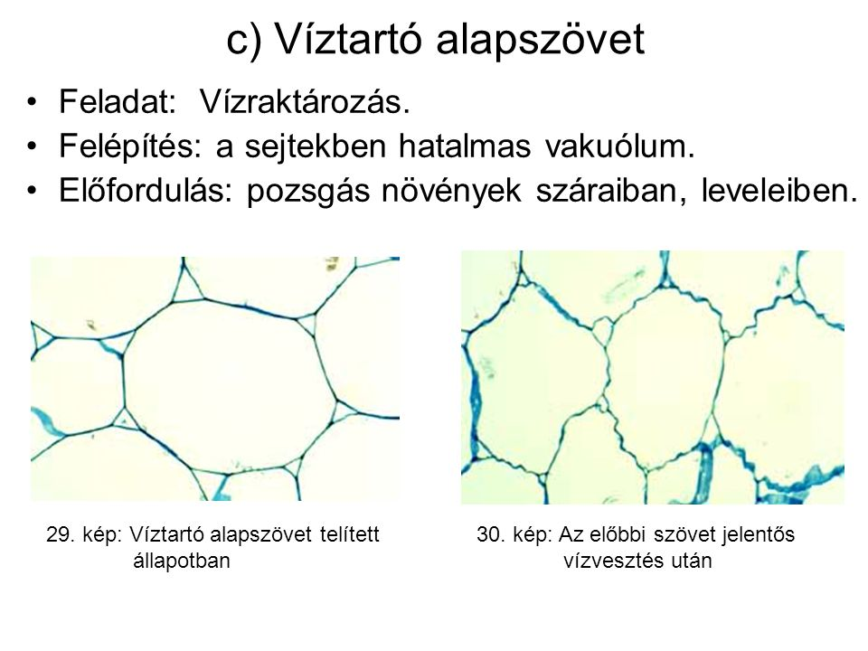 c) Víztartó alapszövet