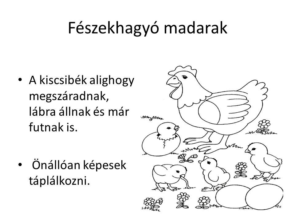 Fészekhagyó madarak A kiscsibék alighogy megszáradnak, lábra állnak és már futnak is.