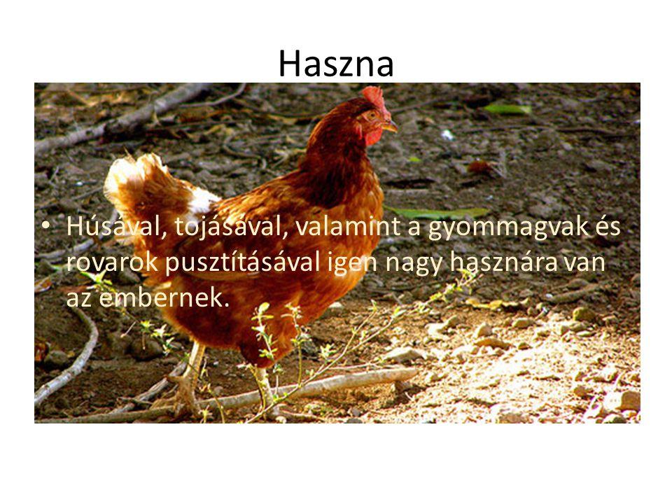 Haszna Húsával, tojásával, valamint a gyommagvak és rovarok pusztításával igen nagy hasznára van az embernek.