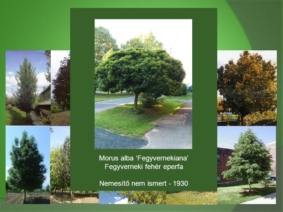 Morus alba 'Fegyvernekiana' Fegyverneki fehér eperfa