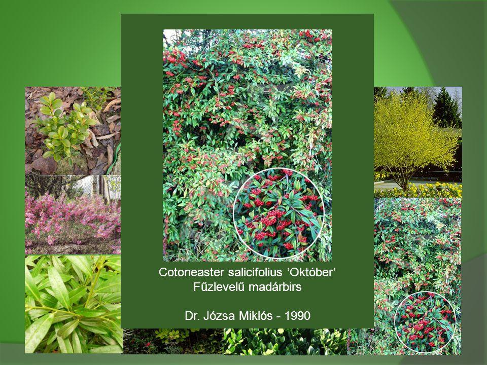 Cotoneaster salicifolius 'Október'