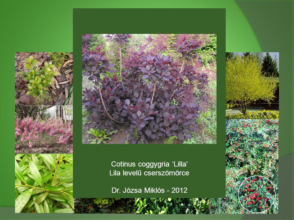 Cotinus coggygria 'Lilla' Lila levelű cserszömörce