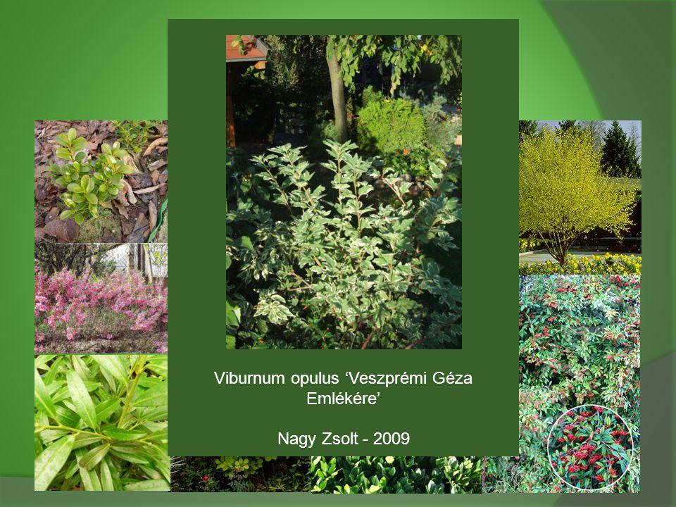 Viburnum opulus 'Veszprémi Géza Emlékére'