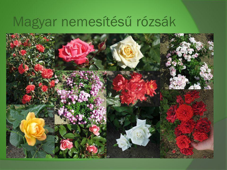 Magyar nemesítésű rózsák