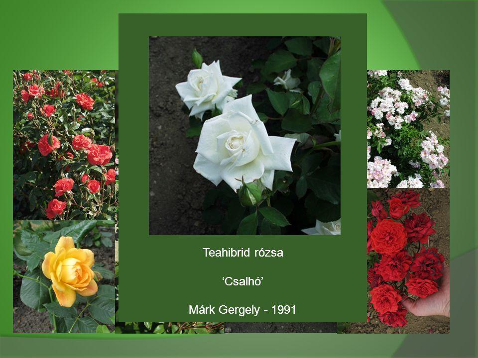 Teahibrid rózsa 'Csalhó' Márk Gergely - 1991