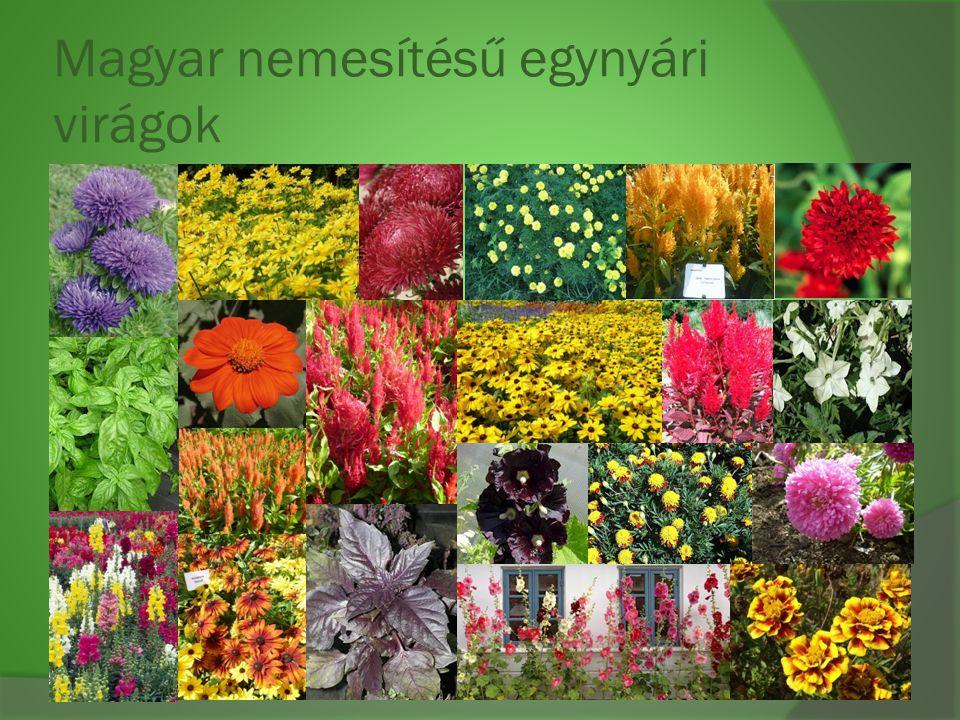 Magyar nemesítésű egynyári virágok