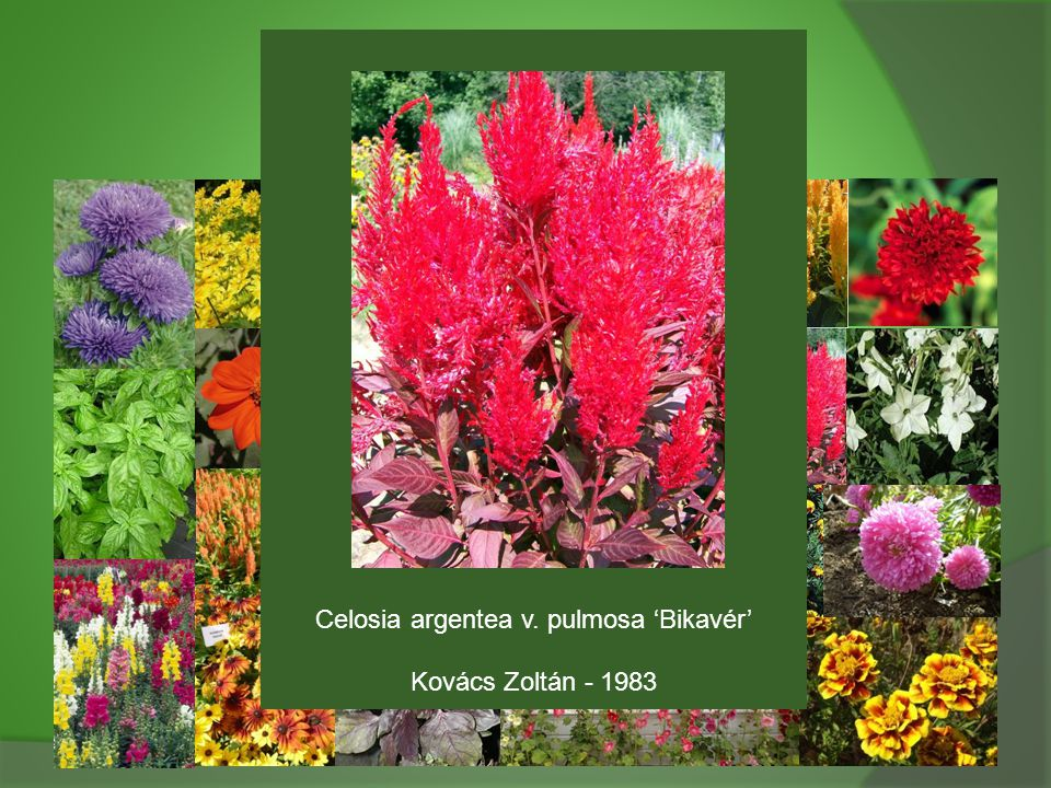 Celosia argentea v. pulmosa 'Bikavér'