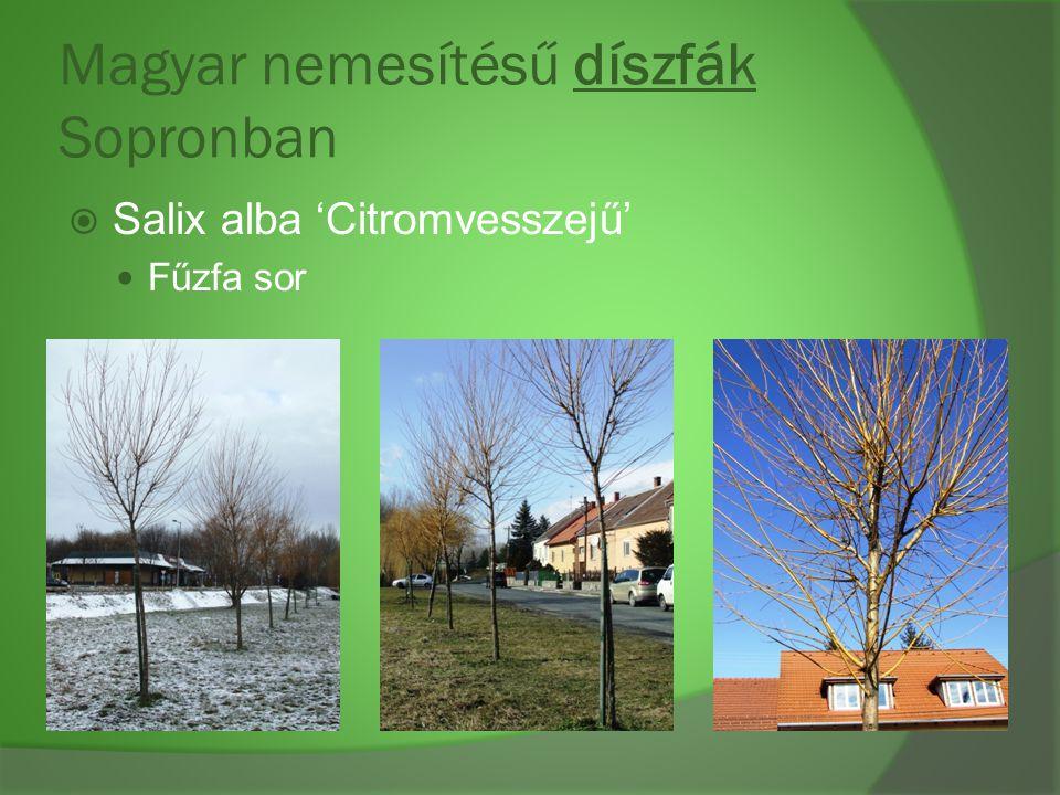 Magyar nemesítésű díszfák Sopronban