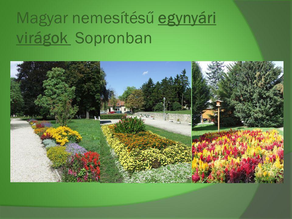 Magyar nemesítésű egynyári virágok Sopronban