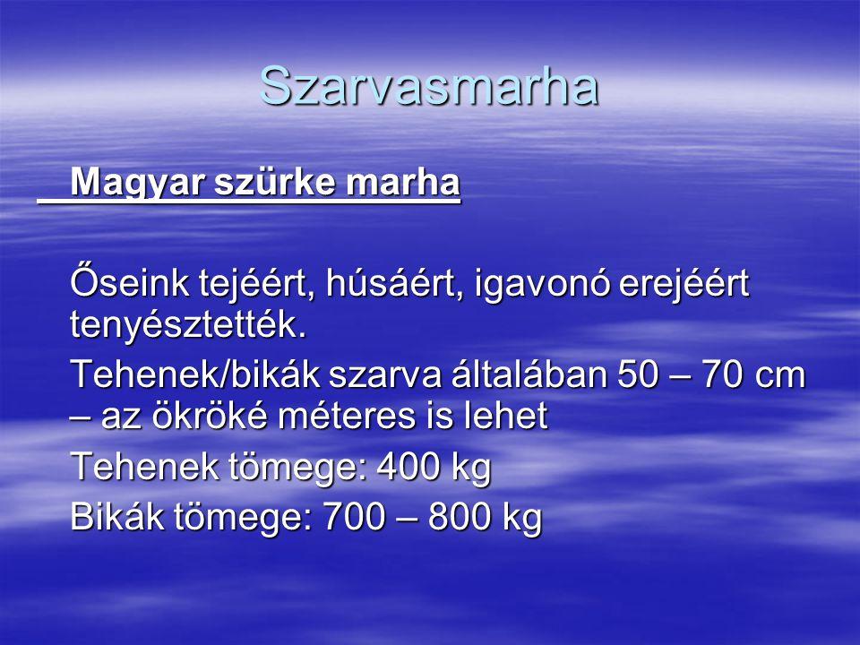 Szarvasmarha Magyar szürke marha