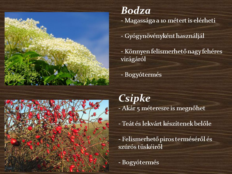 Bodza - Magassága a 10 métert is elérheti - Gyógynövényként használjál - Könnyen felismerhető nagy fehéres virágáról - Bogyótermés