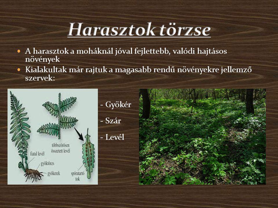 Harasztok törzse A harasztok a moháknál jóval fejlettebb, valódi hajtásos növények.
