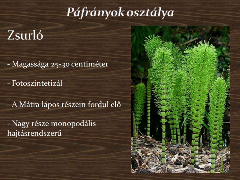 Zsurló - Magassága 25-30 centiméter - Fotoszintetizál