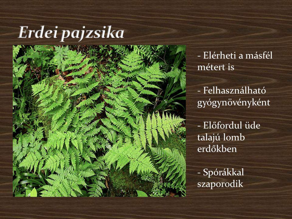 Erdei pajzsika - Elérheti a másfél métert is - Felhasználható gyógynövényként - Előfordul üde talajú lomb erdőkben - Spórákkal szaporodik.