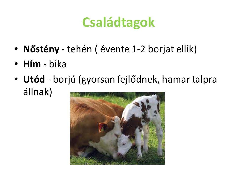 Családtagok Nőstény - tehén ( évente 1-2 borjat ellik) Hím - bika