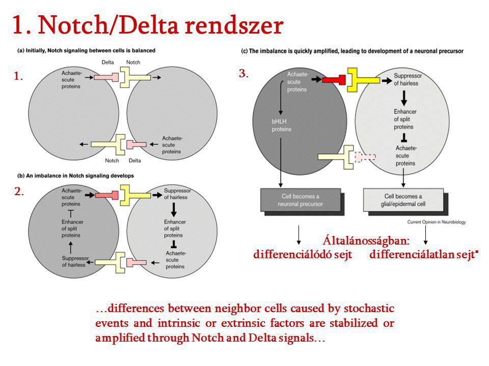 1. Notch/Delta rendszer 1. 3. 2. Általánosságban: differenciálódó sejt