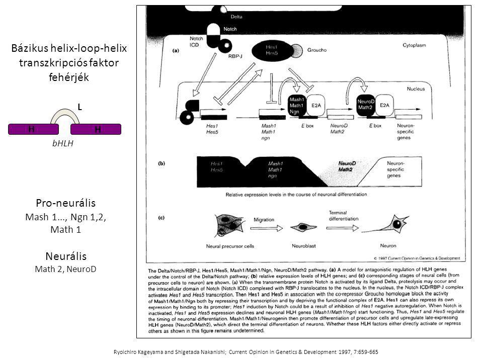 Bázikus helix-loop-helix transzkripciós faktor fehérjék