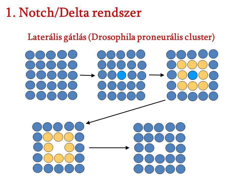 1. Notch/Delta rendszer Laterális gátlás (Drosophila proneurális cluster)