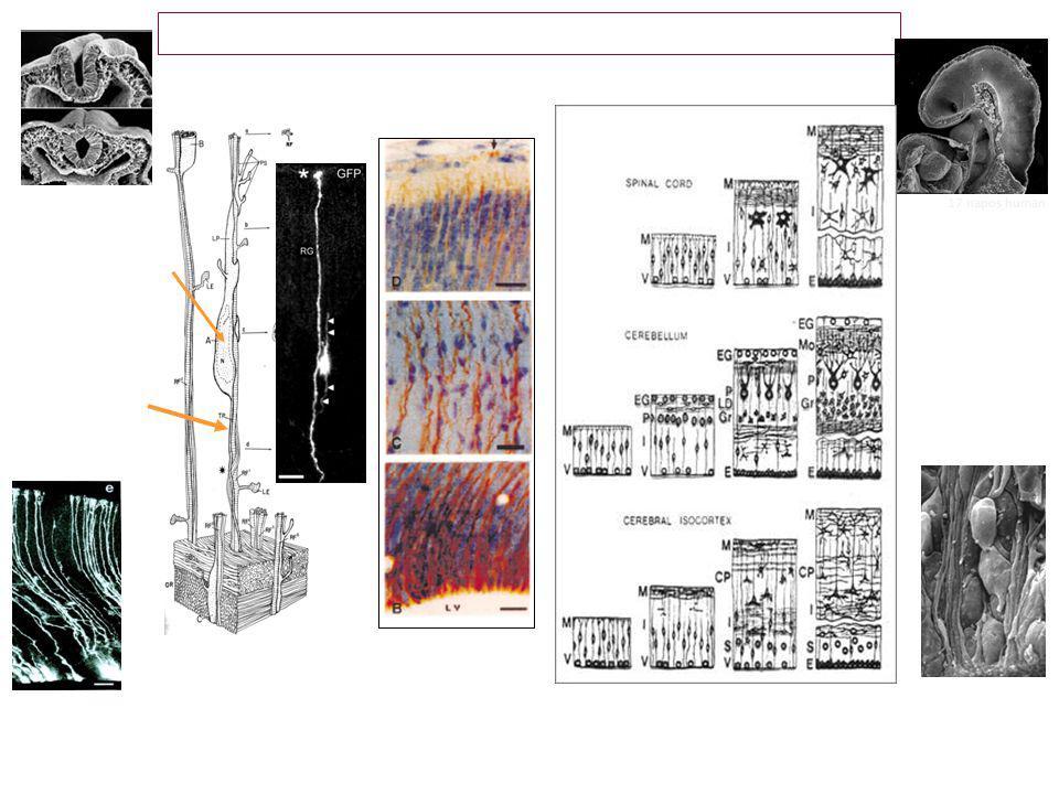 Embrionális sejt-vándorlás az elsődleges idegi germinatív zónából