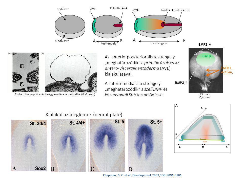 Kialakul az ideglemez (neural plate)