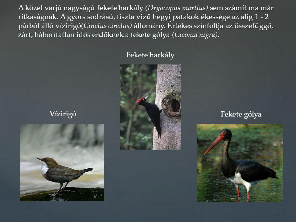 A közel varjú nagyságú fekete harkály (Dryocopus martius) sem számít ma már ritkaságnak. A gyors sodrású, tiszta vizű hegyi patakok ékessége az alig 1 - 2 párból álló vízirigó(Cinclus cinclus) állomány. Értékes színfoltja az összefüggő, zárt, háborítatlan idős erdőknek a fekete gólya (Ciconia nigra).