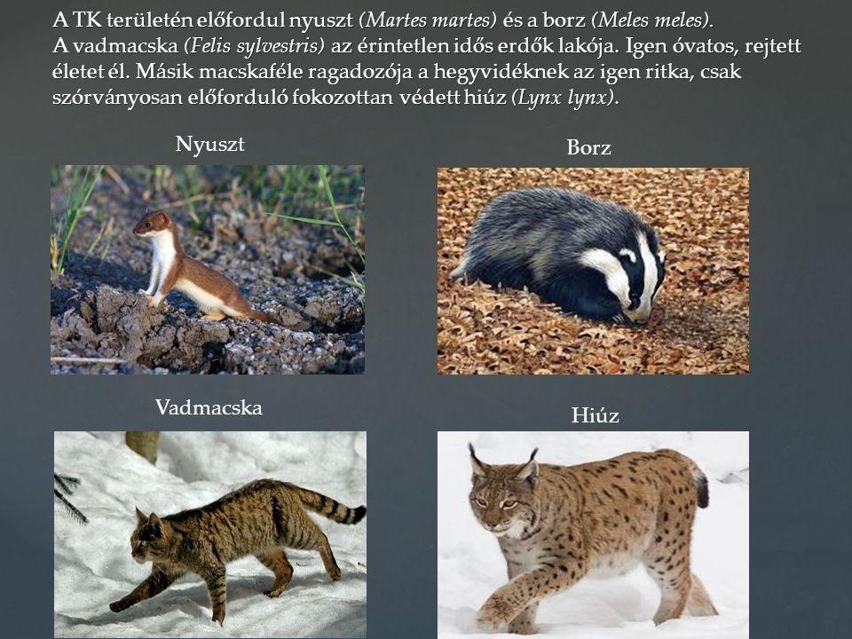 A TK területén előfordul nyuszt (Martes martes) és a borz (Meles meles). A vadmacska (Felis sylvestris) az érintetlen idős erdők lakója. Igen óvatos, rejtett életet él. Másik macskaféle ragadozója a hegyvidéknek az igen ritka, csak szórványosan előforduló fokozottan védett hiúz (Lynx lynx).