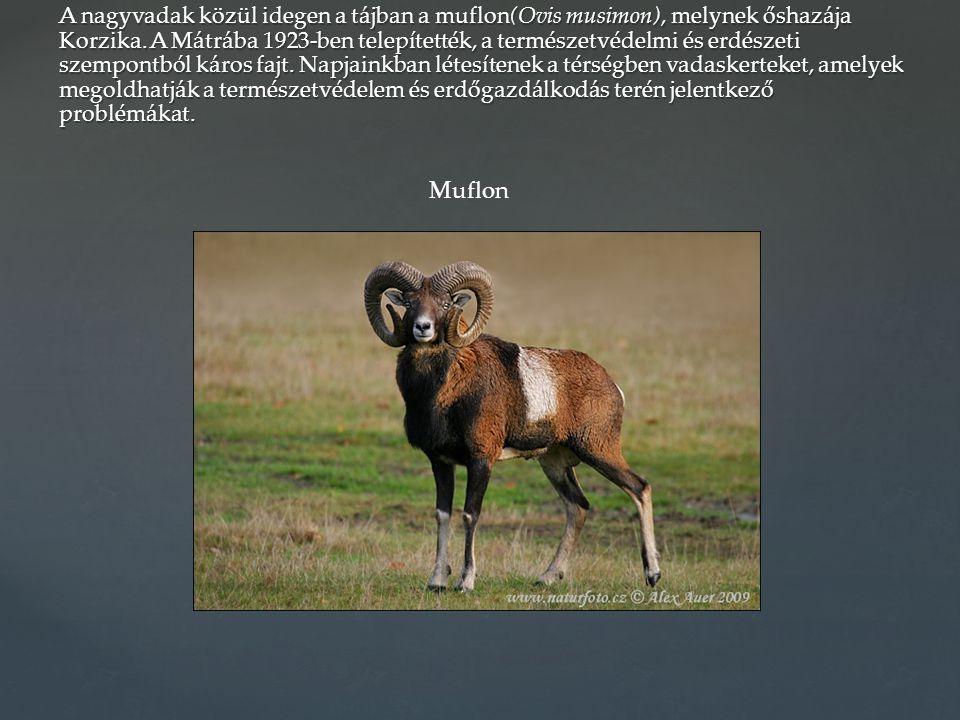 A nagyvadak közül idegen a tájban a muflon(Ovis musimon), melynek őshazája Korzika. A Mátrába 1923-ben telepítették, a természetvédelmi és erdészeti szempontból káros fajt. Napjainkban létesítenek a térségben vadaskerteket, amelyek megoldhatják a természetvédelem és erdőgazdálkodás terén jelentkező problémákat.