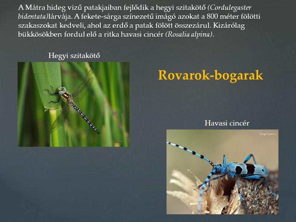 A Mátra hideg vizű patakjaiban fejlődik a hegyi szitakötő (Cordulegaster bidentata)lárvája. A fekete-sárga színezetű imágó azokat a 800 méter fölötti szakaszokat kedveli, ahol az erdő a patak fölött összezárul. Kizárólag bükkösökben fordul elő a ritka havasi cincér (Rosalia alpina).